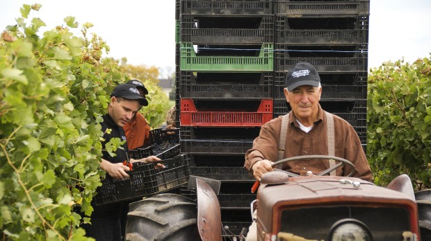 Harvesting at Pillitteri Winery in Niagara On the Lake. Photo: Supplied