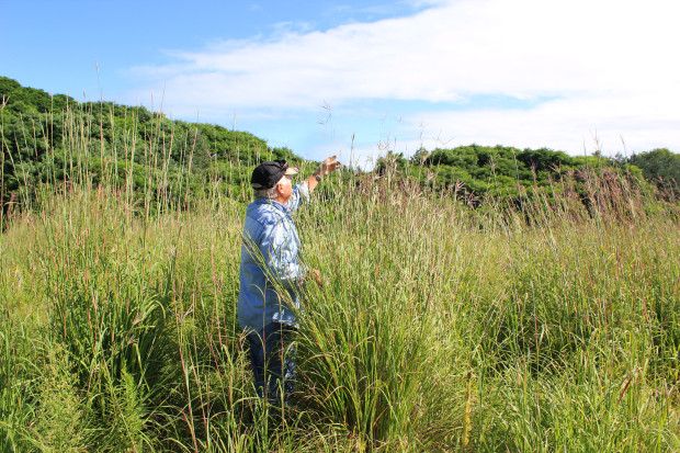 A prime example of how tallgrass prairies received their name, Big Bluestem grass can grow to heights of over two metres. Photo: Melodie Seto.