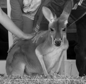 Photo: KG - The baby kangaroo was a draw at the Millbrook Fair.