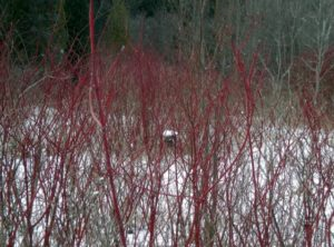 Photo Glen Spurrell Dogwood branches brighten the landscape and here contain an old bird's nest covered in snow.