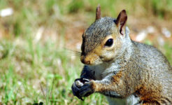 Babble – The Squirrel