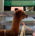 Millbrook Fair's Petting Zoo